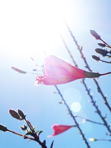Hibiscos ao sol  - Foto Kika Domingues