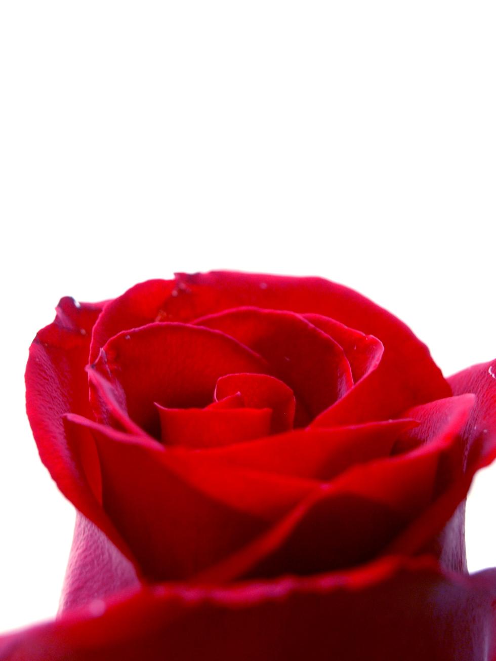 A Primeira Rosa - Foto Kika Domingues